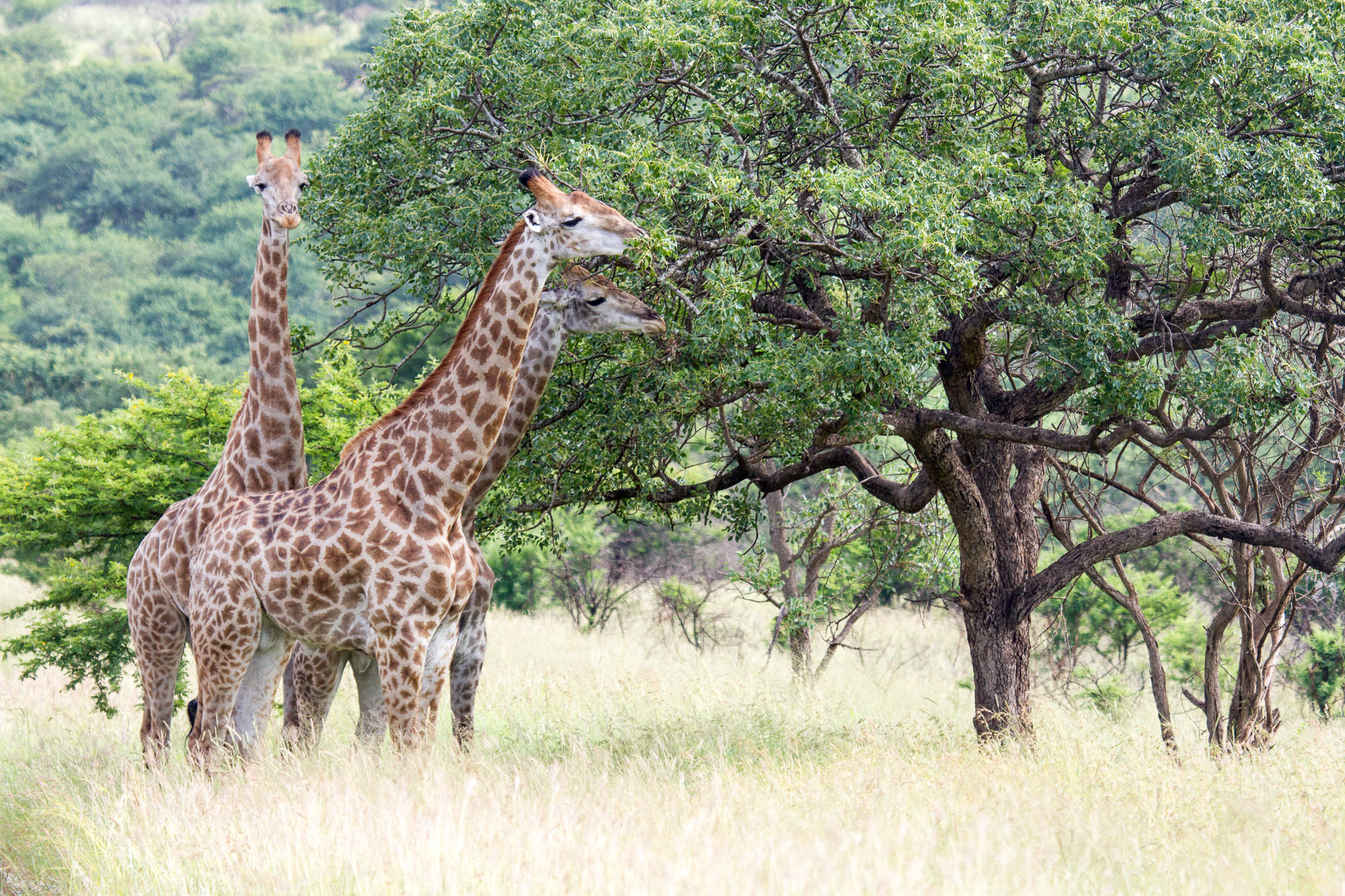 Giraffe on self drive camping safari